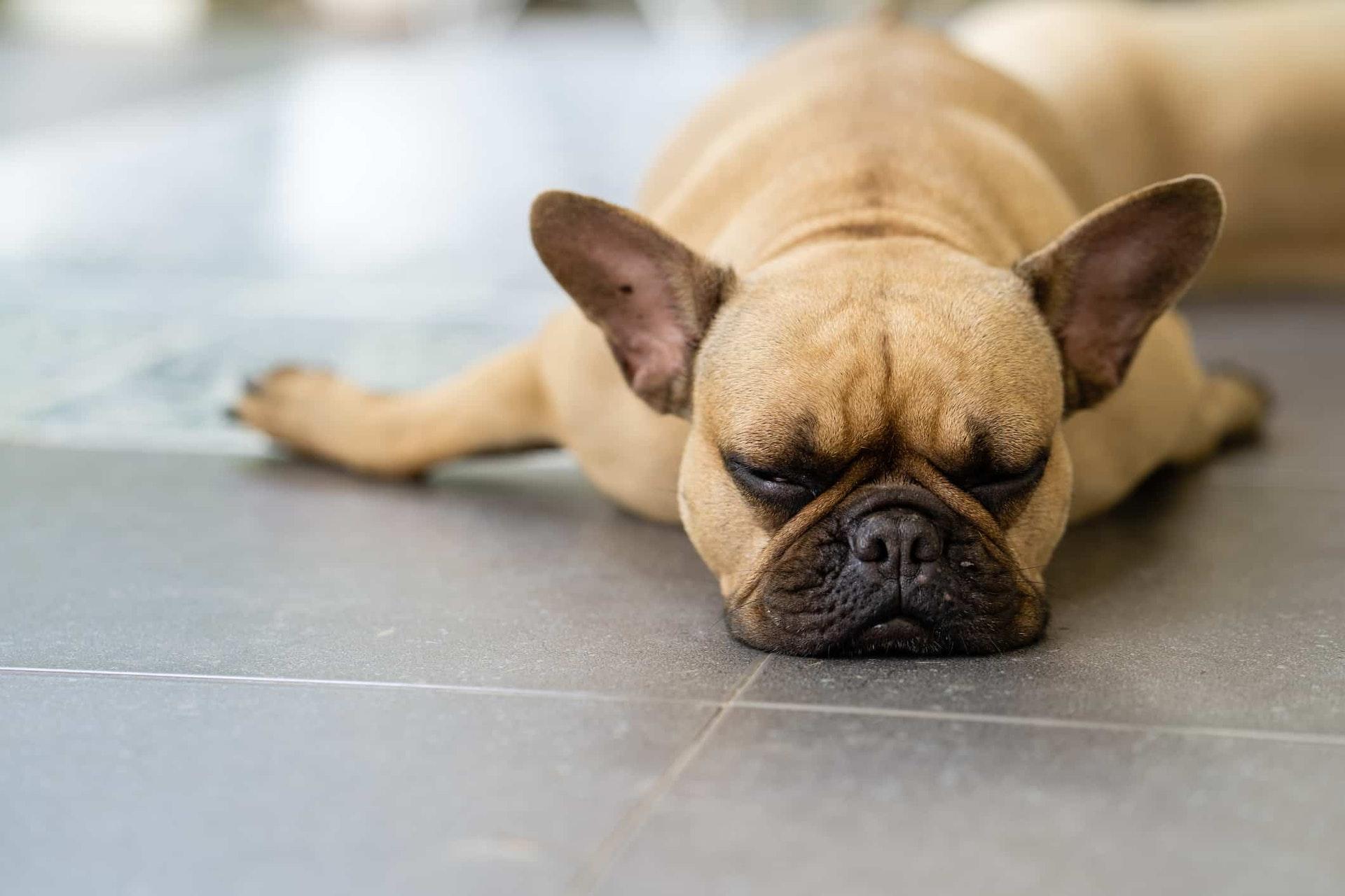 Sleepy french bulldog lying on tiled floor outdoor.